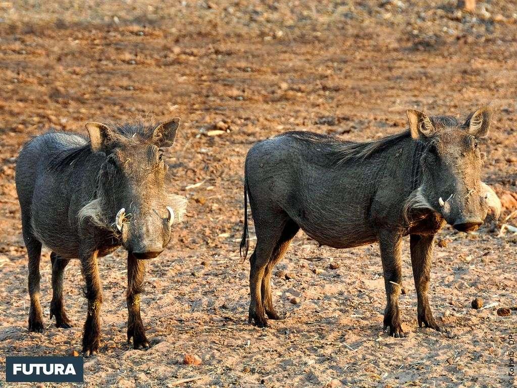 Le phacochère a 4 défenses pouvant mesurer 60 cm pour les mâles