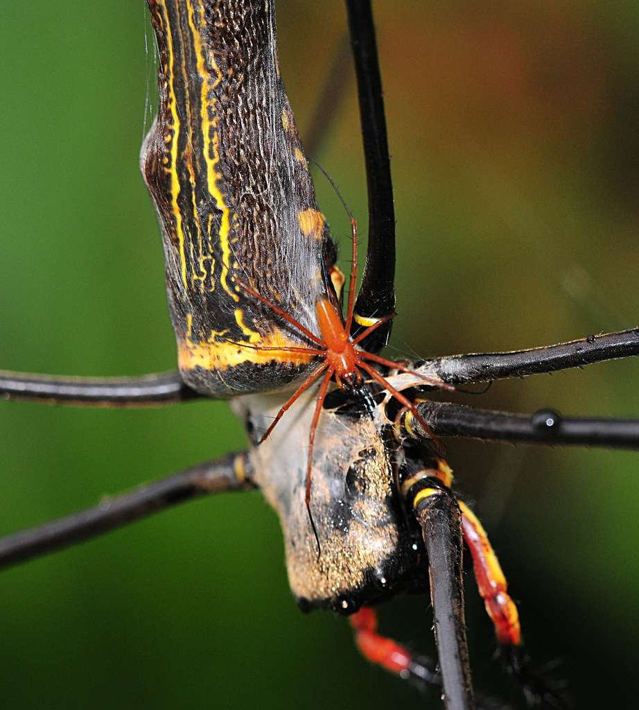 Les araignées du groupe des néphiles sont marquées par un fort dimorphisme sexuel. À l'image, un mâle de couleur rouge s'apprête à féconder une femelle. La différence de taille entre les deux est marquante. © Spiderman (Frank), Flickr, cc by nc nd 2.0