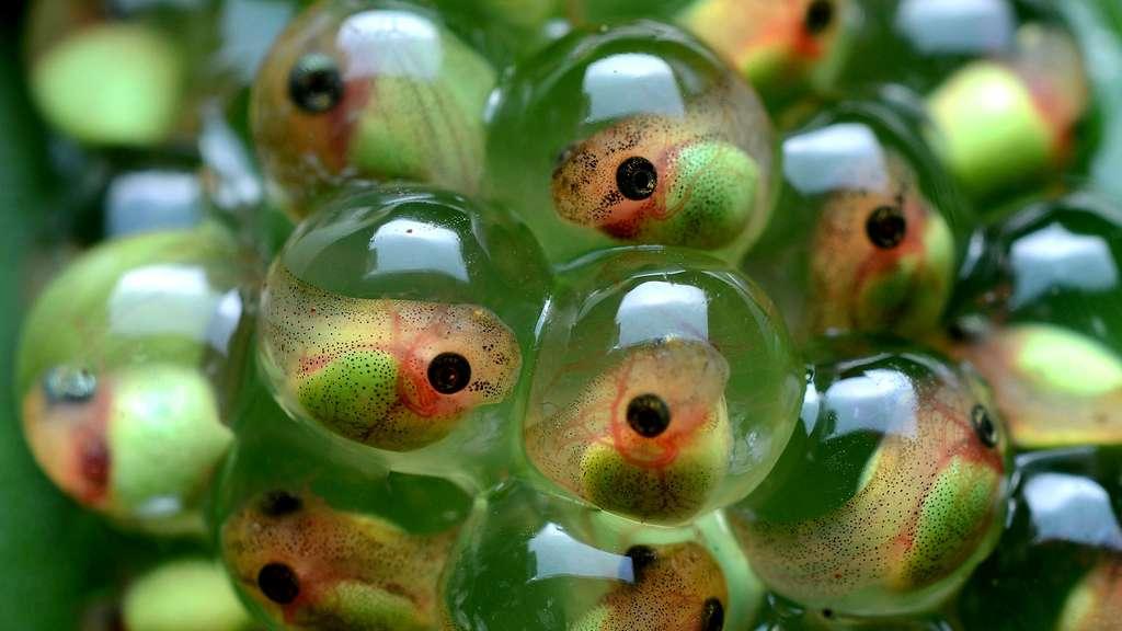 Têtards de rainettes aux yeux rouges dans leurs œufs