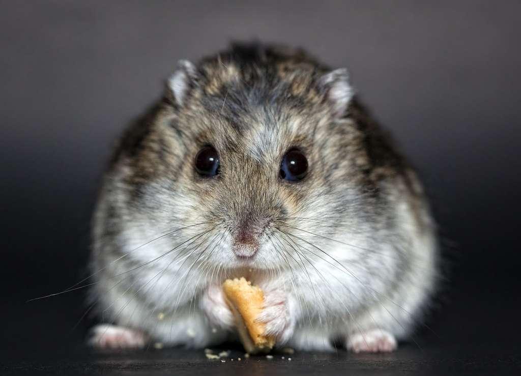 Le hamster possède des abajoues dans lesquelles il stocke et transporte la nourriture. © Christine Trexer, Pixabay