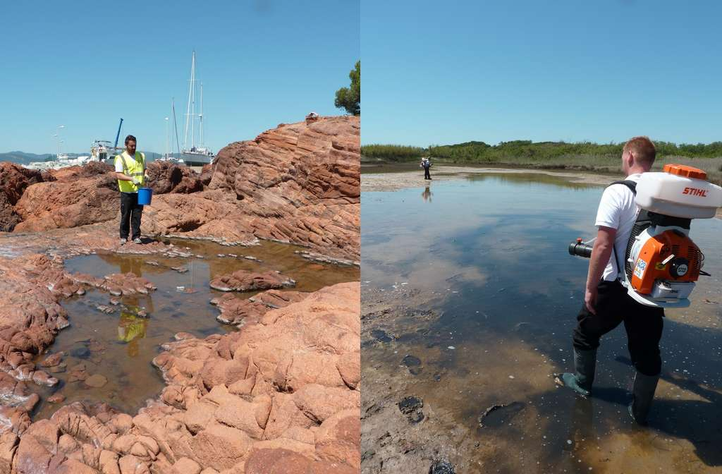 Des agents du service de Lutte Contre les Nuisibles (LCN) de la Cavem interviennent sur une flaque d'eau de pluie bord de mer et en zone marécageuse pour démoustiquer. © Cavem