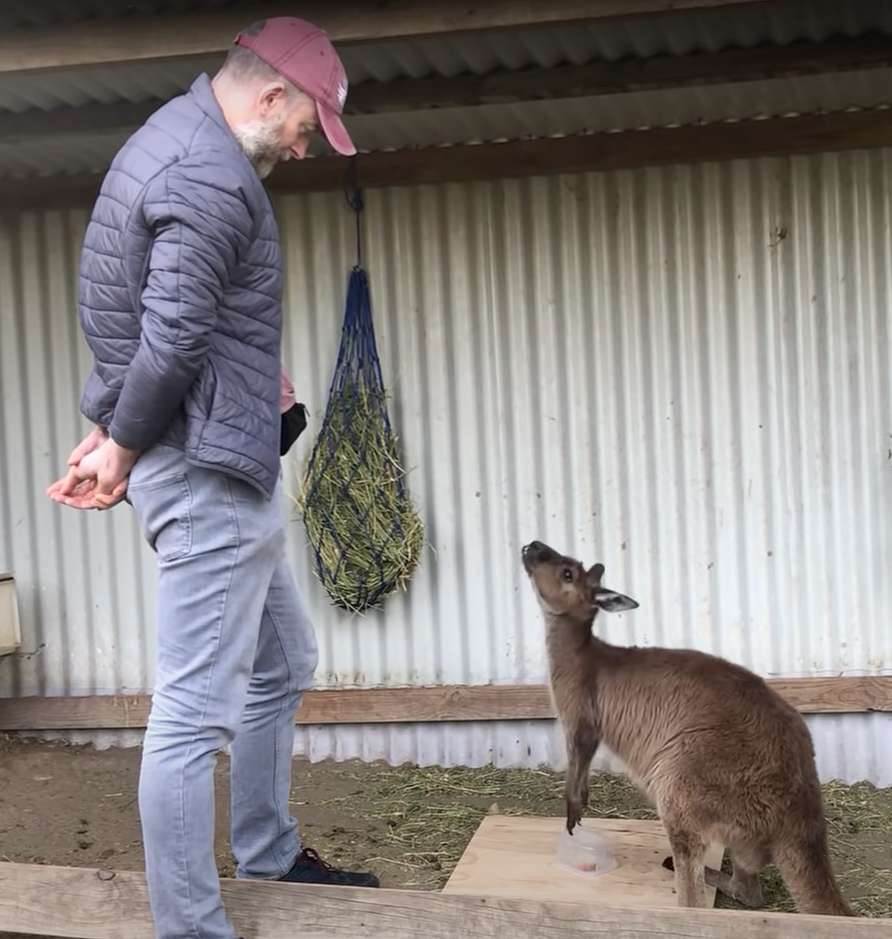 Dans le regard du kangourou tourné vers l'humain, une sorte d'appel à l'aide. © Université de Sydney, YouTube