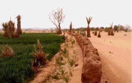 Palmeraie de Aît Ben Omar (Maroc). Contraste saisissant entre les parcelles de droite exposées au vent chargé de sable et celles de gauche, protégées par le mur de banco