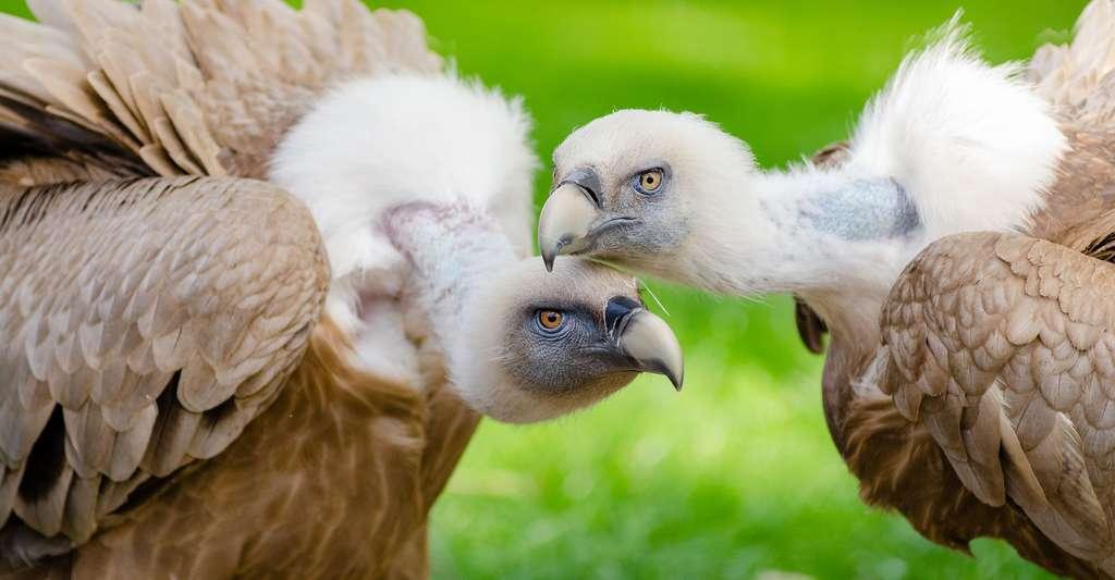 En savoir plus sur les rapaces. Ici, des vautours de l'Himalaya. © Pexels, DP
