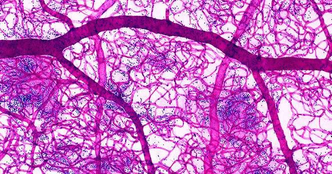 Cette image montre un réseau de capillaires sanguins. Ces vaisseaux mesurent seulement plusieurs dizaines de micron. En 2019, un nouveau réseau a été identifié dans les os. © dockstock, Kage, BSIP