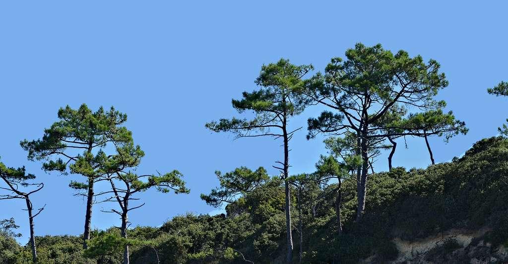 Pins maritimes (Pinus pinaster) dans les Alpes Maritimes. © JLPC, Wikimedia commons, CC by-sa 3.0