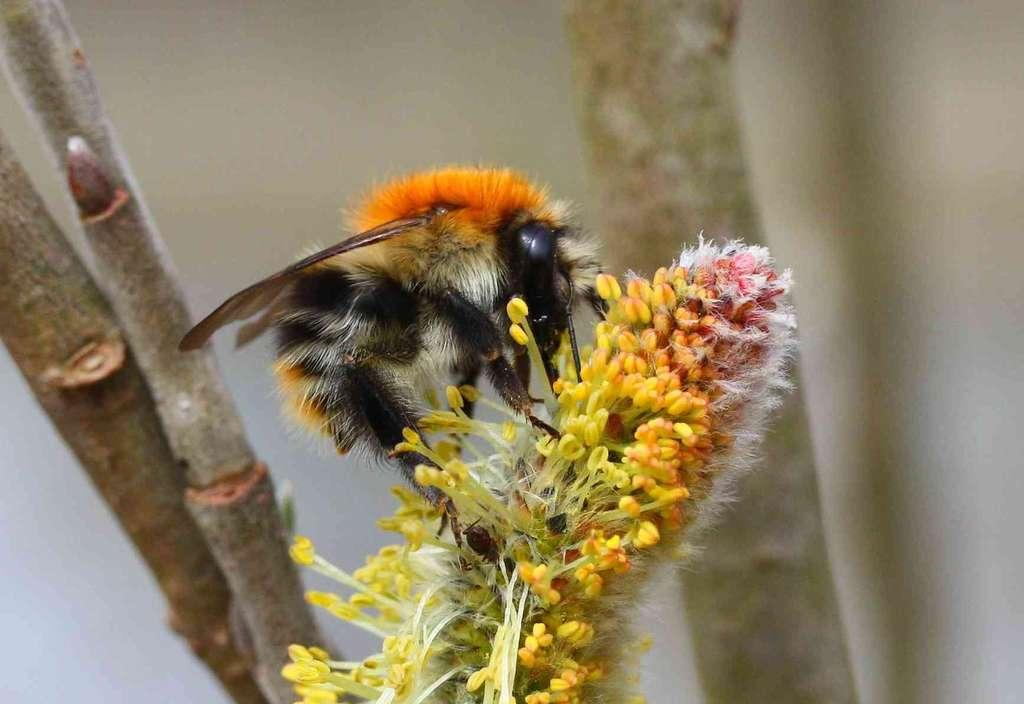 Bombus pascuorum - Bourdon des champs
