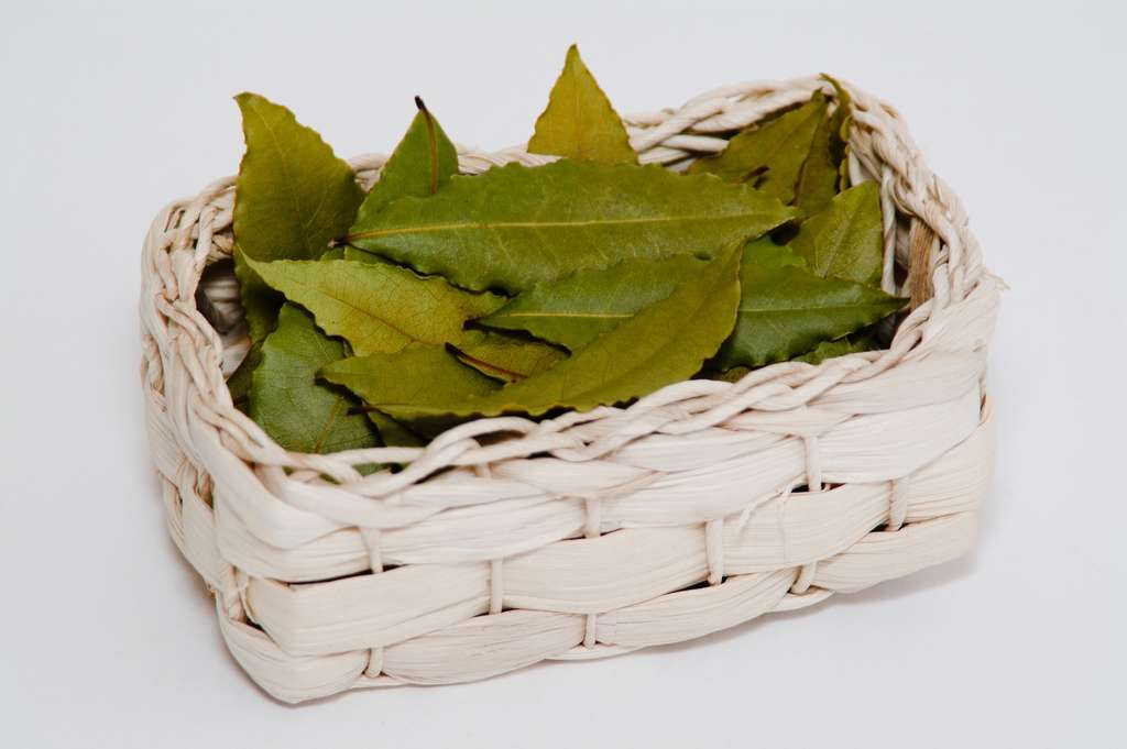 Une fois séchées, les feuilles de laurier noble peuvent se conserver durant un an dans un contenant hermétique. Szakaly, Fotolia