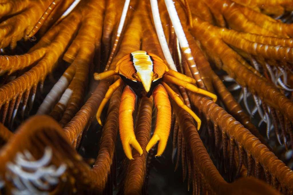 Galathée baba des crinoïdes (Allogalathea babai). © Gabriel Barathieu, tous droits réservés