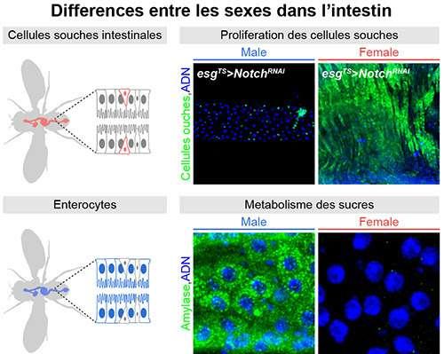 L'équipe des chercheurs a montré, sur le modèle de la drosophile, que le métabolisme des glucides est plus élevé chez les sujets mâles (en bas, expression d'une enzyme digérant les sucres complexes, une amylase en vert). Elle a en revanche montré un taux de prolifération de cellules souches intestinales (en vert sur l'illustration du haut) plus élevé chez les femelles. © Bruno Hudry, Institut de biologie Valrose, CNRS, Inserm, Université de Nice Sophia Antipolis