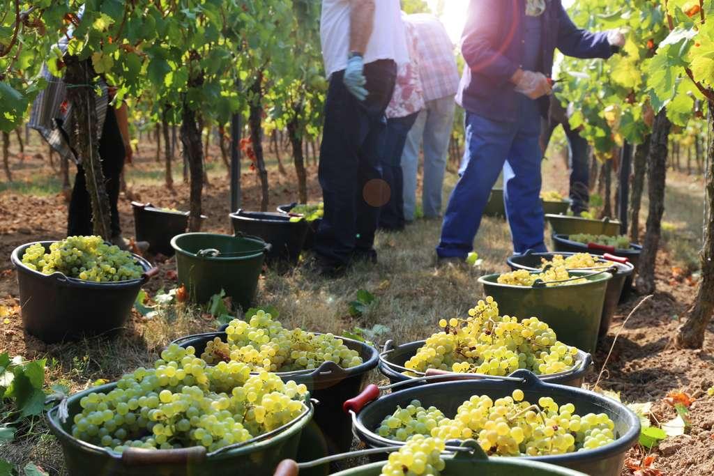 Les viticulteurs ont dû s'adapter aux règles sanitaires pour organiser le travail dans les vignes afin d'empêcher l'apparition de nouveaux clusters. © U.J. Alexender, Adobe Stock