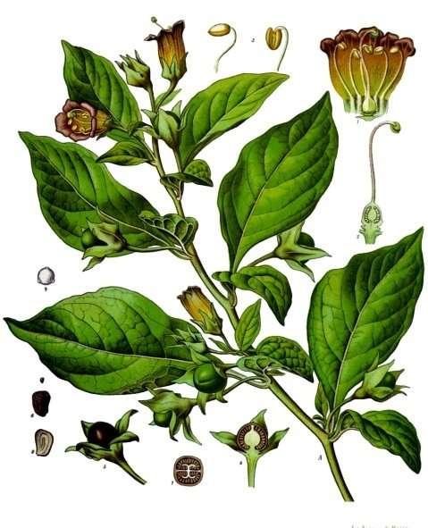 La belladone est une plante toxique, notamment utilisée à la Renaissance pour dilater les pupilles et agrandir le regard des femmes. © Franz Eugen Köhler, Köhler's Medizinal-Pflanzen, Wikimedia Commons, DP