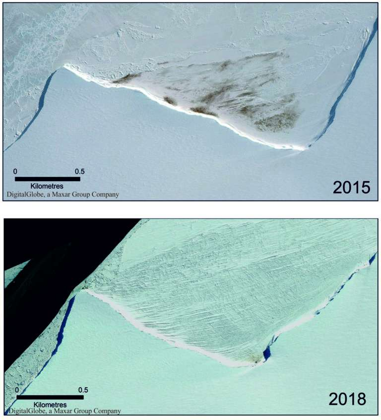 Images satellite montrant la colonie de Halley à sa taille normale en 2015 (en haut) et drastiquement diminuée en 2018 (en bas). © British Antarctic Survey, Peter Fretwell et Philip Trathan, Antarctic Science, 2019/Images satellite : DigitalGlobe