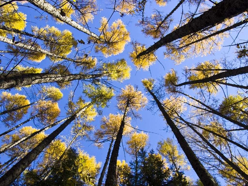Les plantes produisent l'isoprène (un composé organique volatil) dans leurs chloroplastes. Le caoutchouc est par exemple un polymère naturel de l'isoprène. © ressaure, Flickr, cc by nc sa 2.0