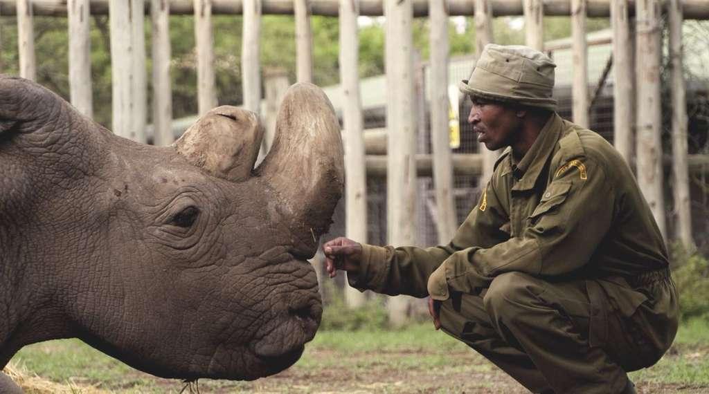 «C'est avec une grande tristesse qu'Ol Pejeta Conservancy et le zoo de Dvůr Králové annoncent que Sudan, le dernier rhinocéros blanc du Nord, âgé de 45 ans, est décédé à Ol Pejeta Conservancy au Kenya le 19 mars 2018», a annoncé sur Twitter Ol Pejeta avec cette photo. © Ol Pejeta Conservancy