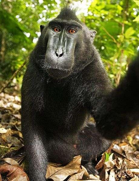 Autoportrait en pied d'un macaque à crête. © Une femelle macaque, domaine public
