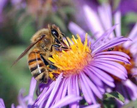 Abeille domestique (Apis mellifera) en train de récolter du nectar sur une Aster (Asteraceae) © Inra / N. Morison