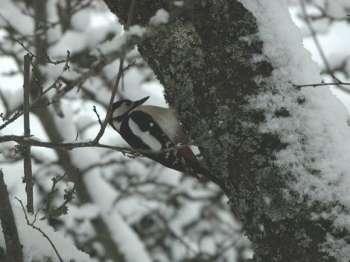 Il tape parfois à plus de dix coups par seconde sur le tronc et il n'a apparemment pas mal au crâne. Le sujet est plaisant mais la question est sérieuse… Crédit : Jacques Nicolin / http://album.oiseau-libre.net