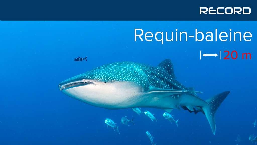 Le requin-baleine, un poisson aussi gros qu'une baleine