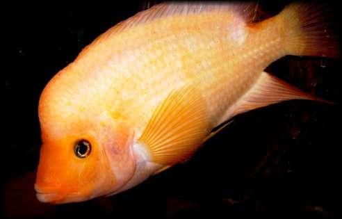 Ce cichlidés Midas Amphilophus Citrinellus peut être agressif en aquarium... parce qu'il manque d'intimité. © www.flower-horn.de