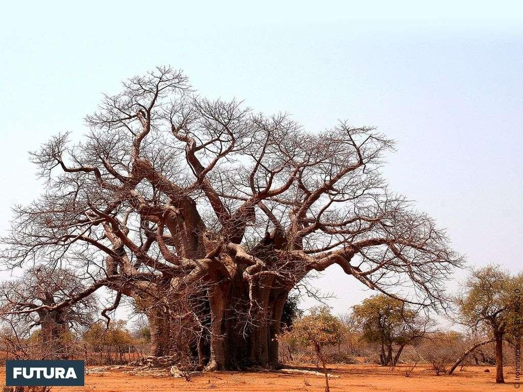 Baobab - Zimbabwe