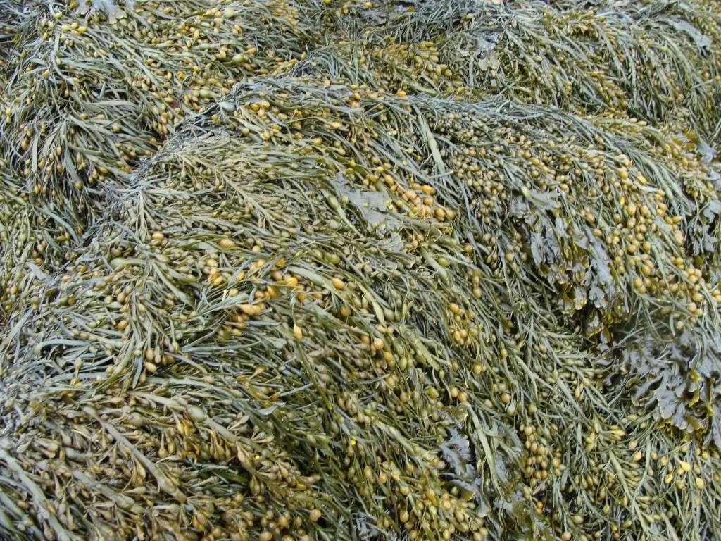 L'algue brune Ascophyllum nodosum est également riche en phlorotannins. Elle est commune le long des côtes de l'Atlantique nord. © Philippe Potin, CNRS Photothèque