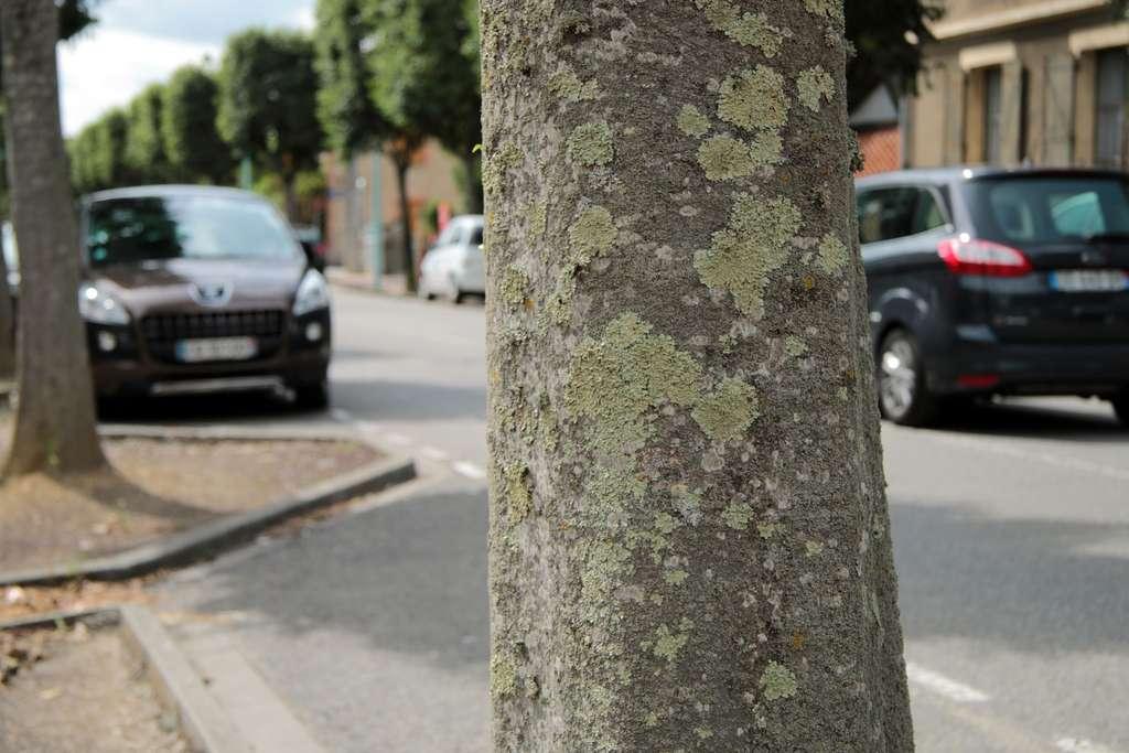 Lichens corticoles utilisés en biosurveillance des milieux urbains. © Yannick Agnan - Tous droits réservés