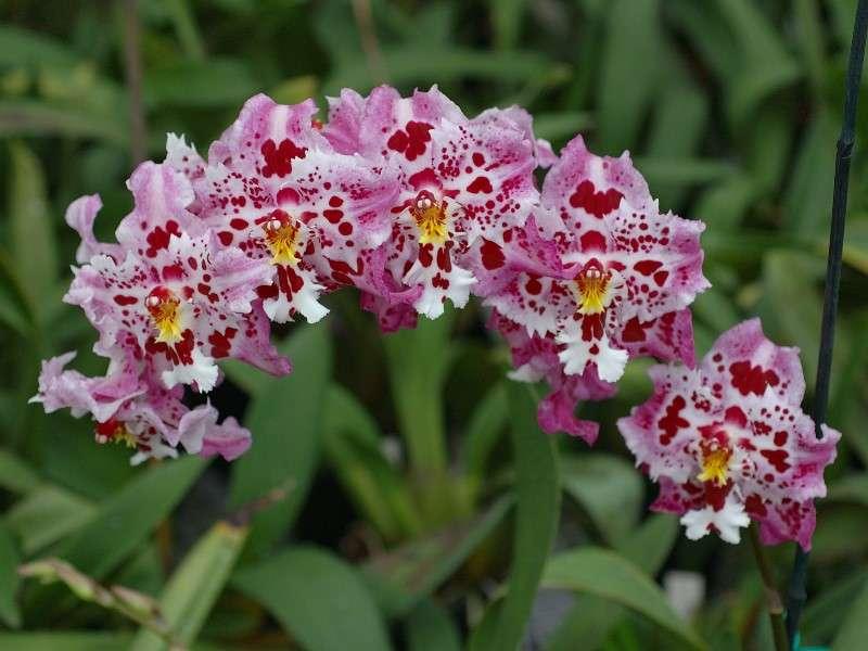 Orchidée Odontoglossum, des Andes