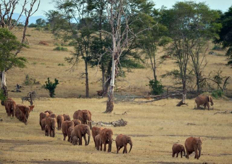 Des éléphants dans le parc national Tsavo, le 16 février 2017 au Kenya. © Tony Karumba - AFP/Archives