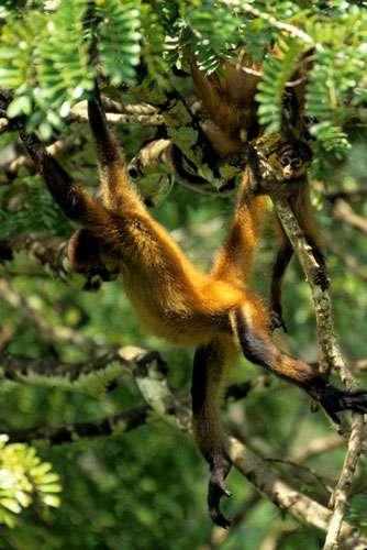 Le singe-araignée, ou atèle de Geoffroy (Ateles geoffroyi), un sacré acrobate ! © Sylvain Lefebvre et Marie-Anne Bertin, DR