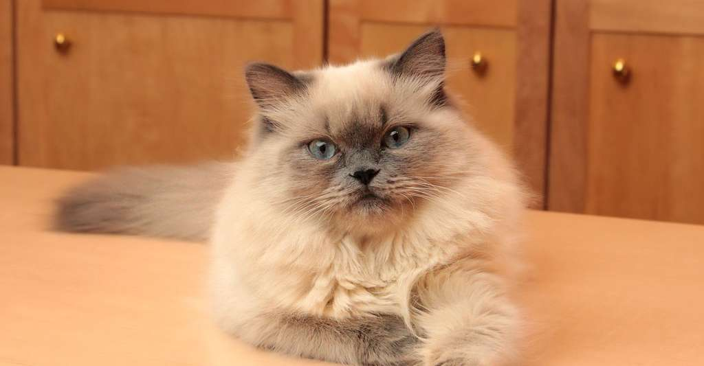 Jeune chat Persan. © Asilverstein, Wikimedia commons, CC by-sa 3.0