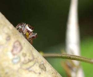 Bagheera kiplingi sur le tronc d'un acacia, un corps beltien entre ses chélicères. © R. L. Curry