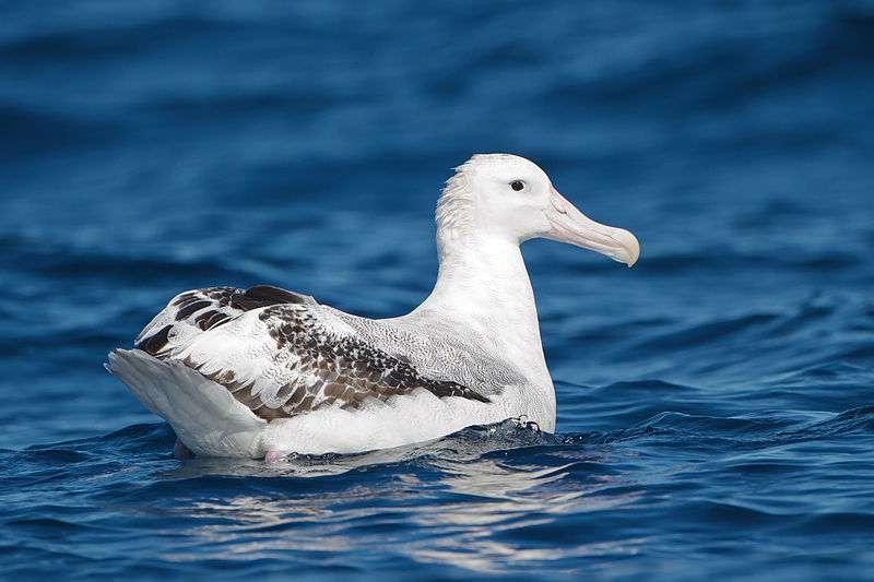 Albatros hurleur. © JJ Harrison, CC-by-SA 3.0