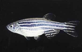 En l'absence d'oxygène, les poissons zèbres préfèrent être mâles que femelles... (Crédits : C. Thisse)