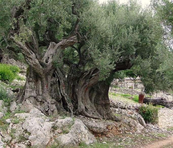 Olivier âgé de 1.500 ans, en Grèce. © Channel R GNU Free Documentation License version 1.2