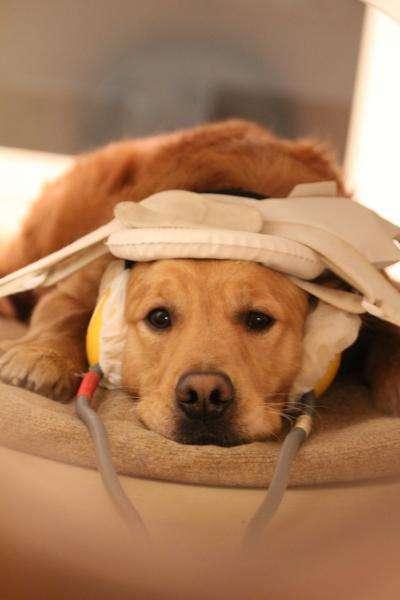 Les chiens ont dû être entraînés pour apprendre à rester immobiles durant la phase de tests. © Eniko Kubinyi
