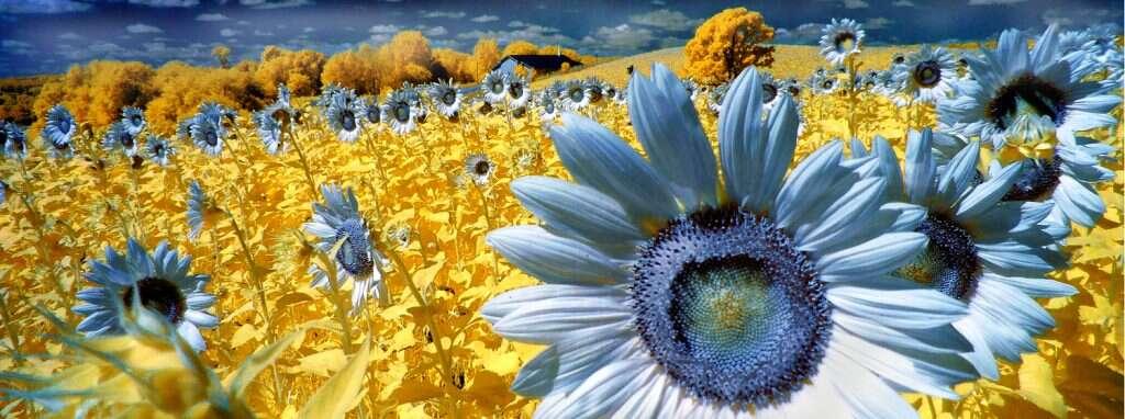 Mention spéciale catégorie infrarouge couleur : Soleils bleus. © Henry Smith