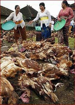 Les souches hautement pathogènes du virus influenza A aviaire (HPAI) sont isolées principalement chez les poulets et les dindons. © 2004, University of Wisconsin, Board of Regents, reproduction et utilisation interdites