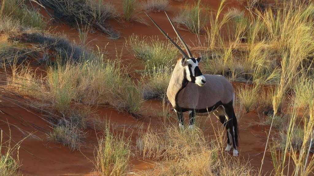 L'oryx, symbole de la Namibie
