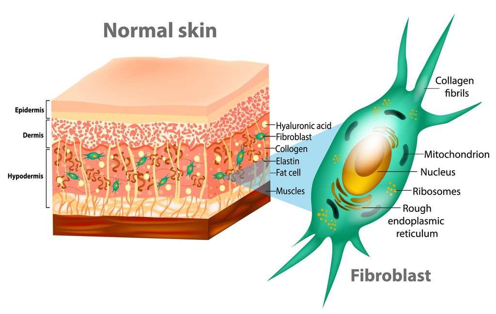 La peau comprend plusieurs couches, avec l'épiderme à l'extérieur, composé essentiellement de kératinocytes. © sakurra, Fotolia