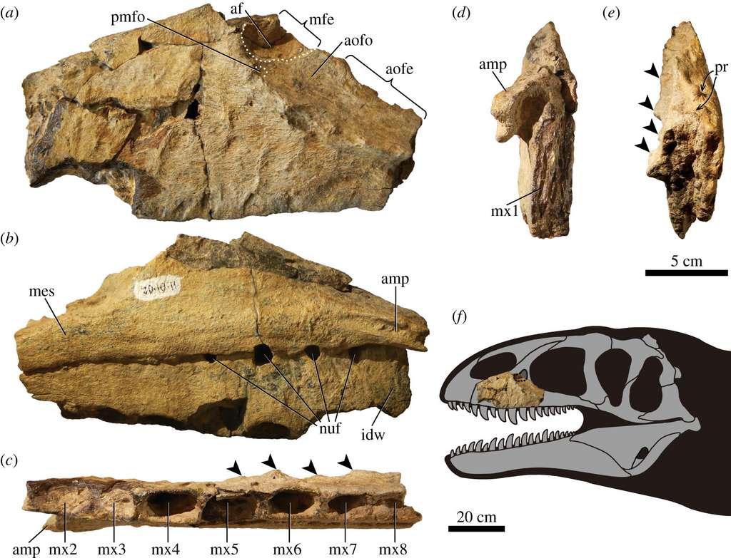 Maxillaire gauche de Ulughbegsaurus uzbekistanensis. Vues a) latérale, b) médiale, c) ventrale, d) antérieure et e) postérieure. © Tanaka et al., 2021