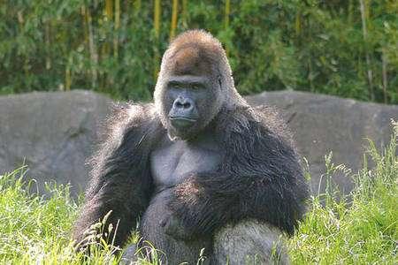 Un gorille au regard placide. © Ryan E. Poplin, Creative Commons Attribution ShareAlike 2.0 License