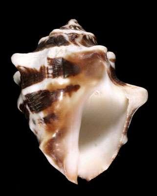 Fig. 1 : Thais deltoidea. © Jean-Pierre Pointier - Tous droits réservés