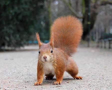 Cet écureuil roux participe au processus d'épizoochorie en transportant les graines des végétaux car il oublie parfois où il a caché ses provisions hivernales. © Ray eye, CC by-sa 2.0