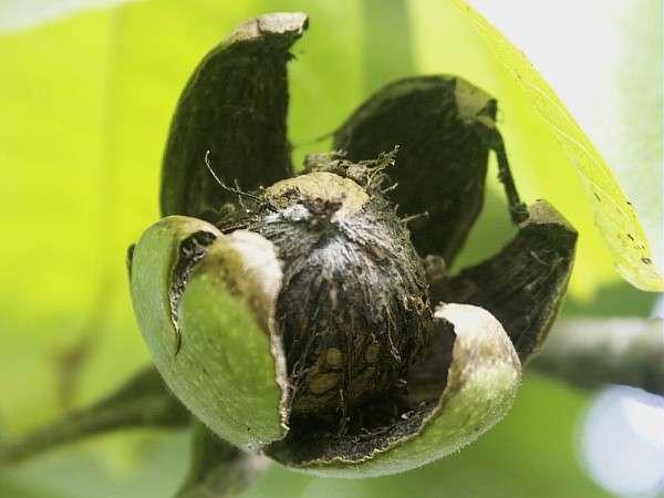 La noix et son brou, cette enveloppe verte