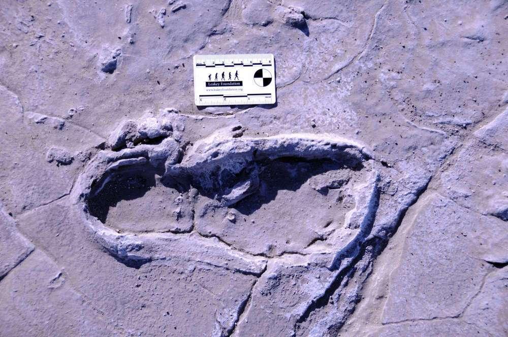 Parmi les plus de 400 empreintes — dont celle-ci — étudiées par les chercheurs de l'université de Chatham, certaines se dirigent vers une dune, laissant penser que d'autres empreintes pourraient être découvertes en creusant cette dune. © William Harcourt-Smith, American Museum of Natural History