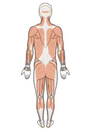 Les muscles du dos peuvent se crisper et entraîner des douleurs. Ce sont donc des douleurs musculaires. © SMA