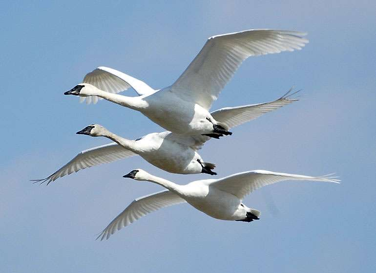 Cygnes trompettes en vol. © US Army Corps of Engineers, CC BY 2.0