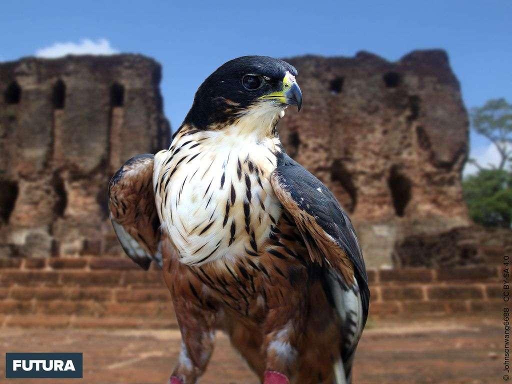 Aigle à ventre roux vit au Sri Lanka