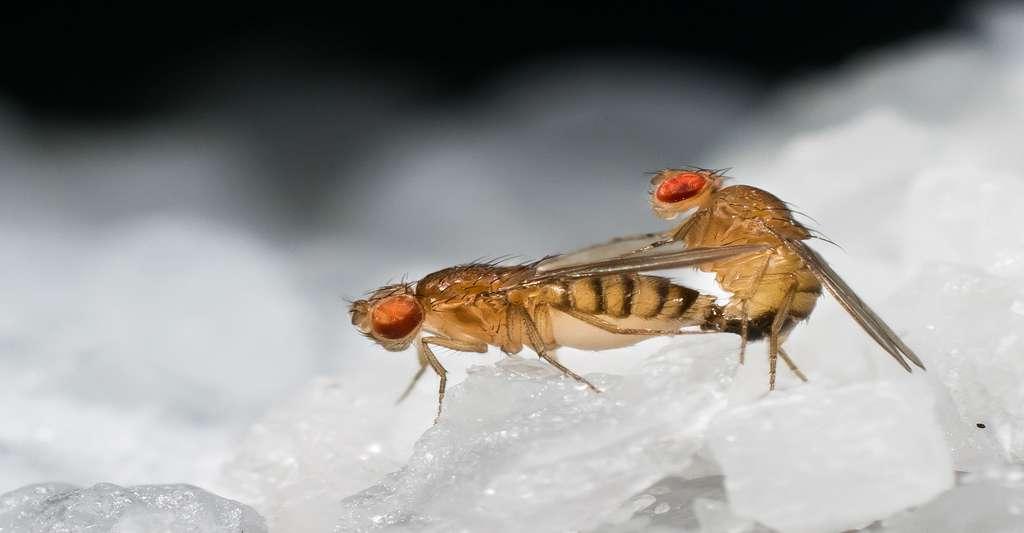 Copulation de deux mouches. © Francisco Romero Ferrero - CC BY-SA 4.0
